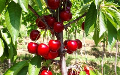 Le cerisier : Riche en Vitamine C