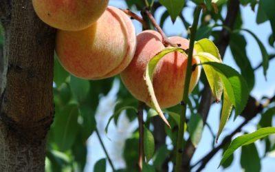 Le Pêcher – Fruit doux et sucré, idéal pour l'été !