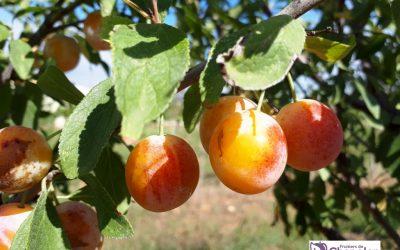 Le Prunier – Fruit idéal pour bien démarrer sa rentrée !