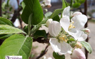 Le Pommier – Le fruitier d'hiver pour être en bonne santé