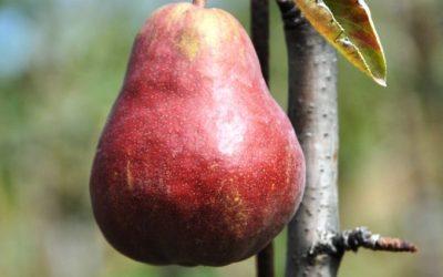 Le Poirier – Le Fruit d'Hiver dont on ne se lasse pas !