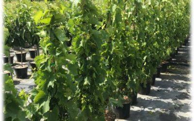 La vigne : Tonus et vitalité en fin d'été